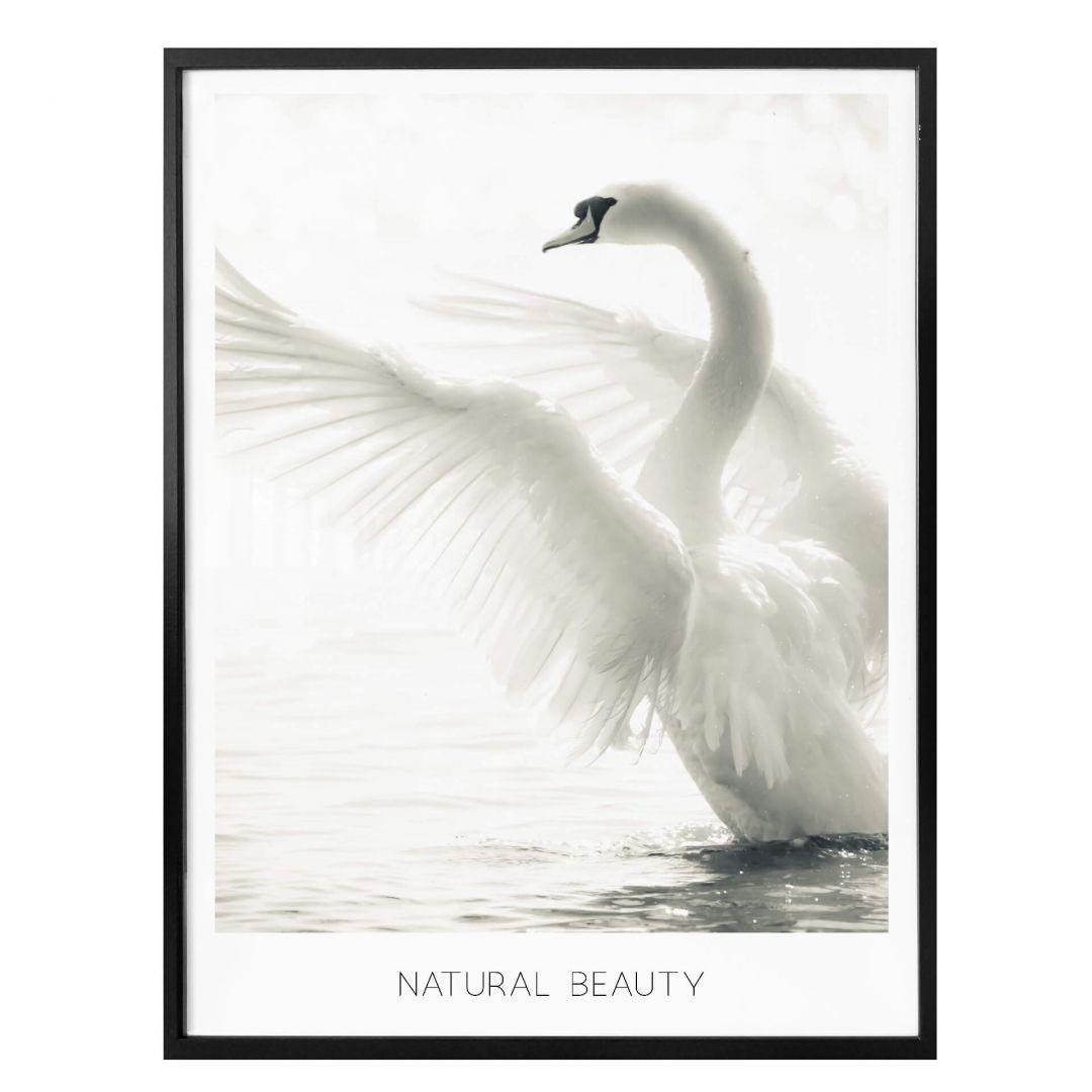 Poster Majestätischer Schwan - Natural Beauty - WA258593
