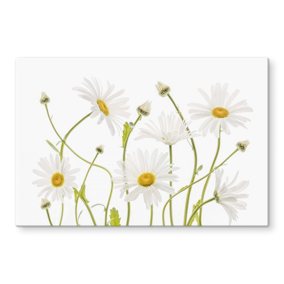 Glasbild Disher - Ox eye Daisies - WA288870