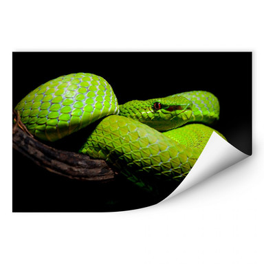 Wallprint Hakonsen - Die grüne Pit-Viper