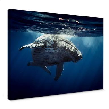 Leinwandbild Buckelwal auf Tauchgang