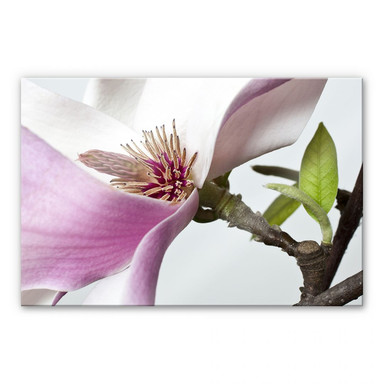Acrylglasbild Magnolie