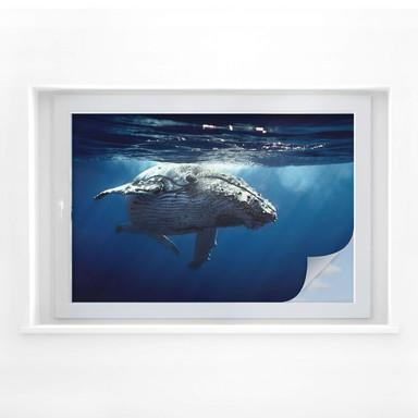 Sichtschutzfolie Buckelwal auf Tauchgang
