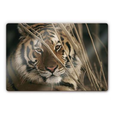 Glasbild Tiger