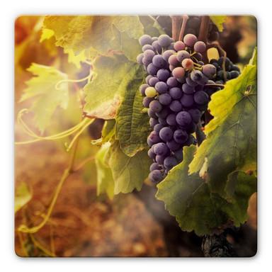 Glasbild Toskanische Weinrebe