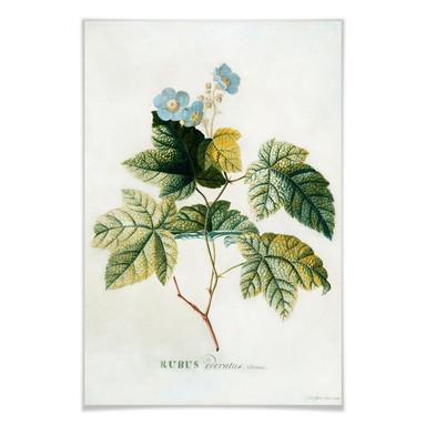 Poster Ehret - Rubus
