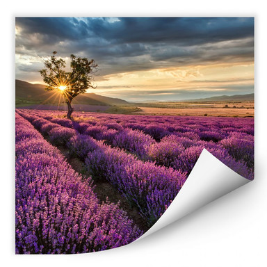 Wallprint Lavendelblüte in der Provence - quadratisch