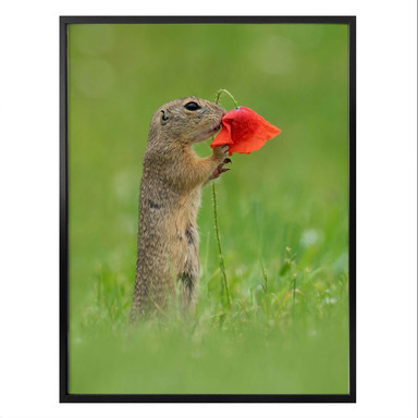 Poster van Duijn - Erdhörnchen mit Mohnblume