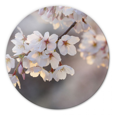 Glasbild Kirschblütenzweig - rund