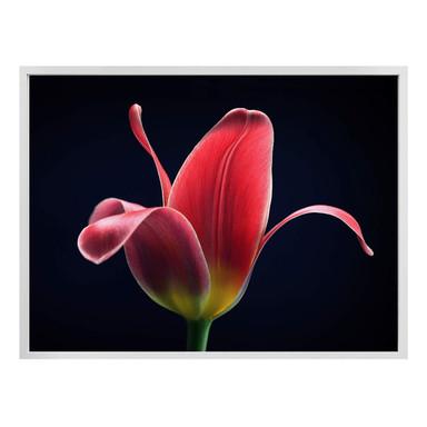 Poster Grønkjær - First Tulip