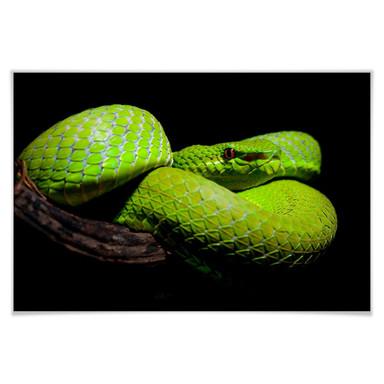 Poster Hakonsen - Die grüne Pit-Viper