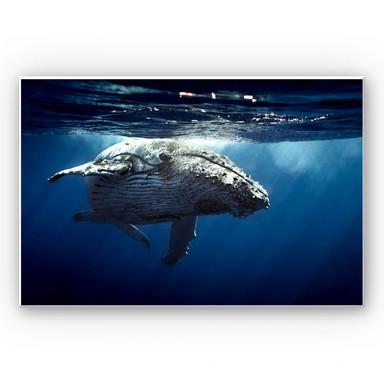 Wandbild Buckelwal auf Tauchgang