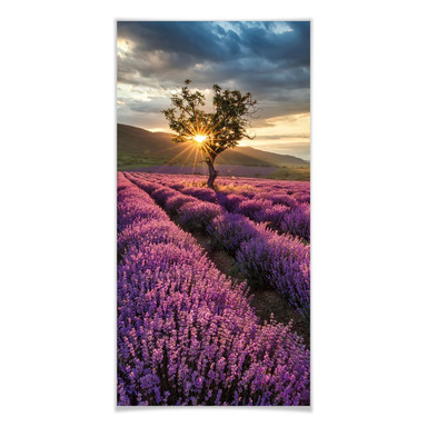 Poster Lavendelblüte in der Provence - Panorama
