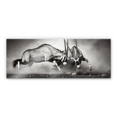 Acrylglasbild Das Duell - Panorama