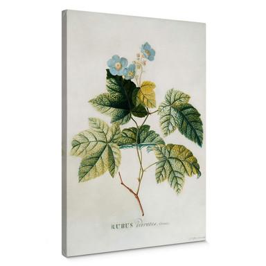 Leinwandbild Ehret - Rubus