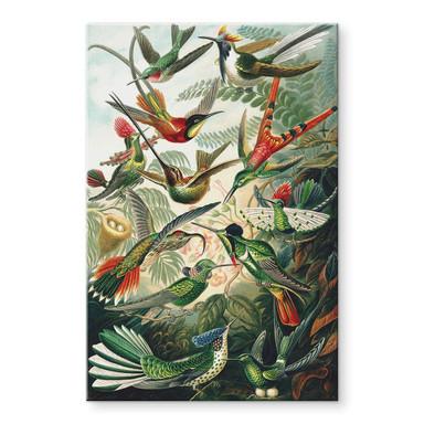 Acrylglasbild Haeckel - Kolibris