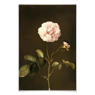 Poster Dietzsch - Essig-Rose mit Hummel