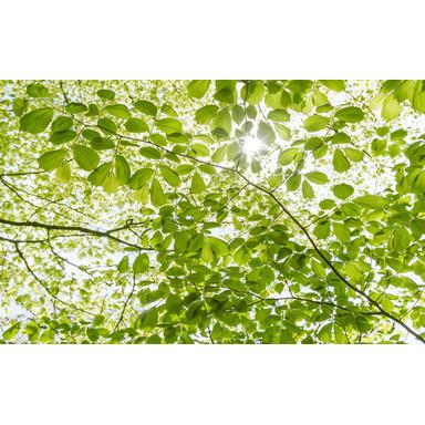 Fototapete Im Frühlingswald