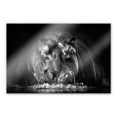 Acrylglasbild Golob - Prustendes Nilpferd