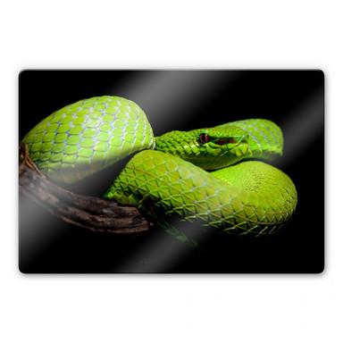 Glasbild Hakonsen - Die grüne Pit-Viper