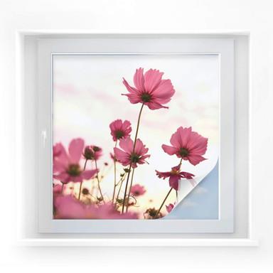 Sichtschutzfolie Pinke Kosmeen - quadratisch