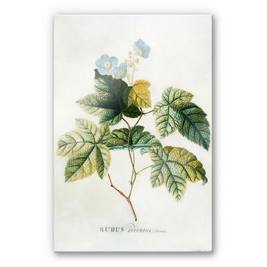 Acrylglasbild Ehret - Rubus
