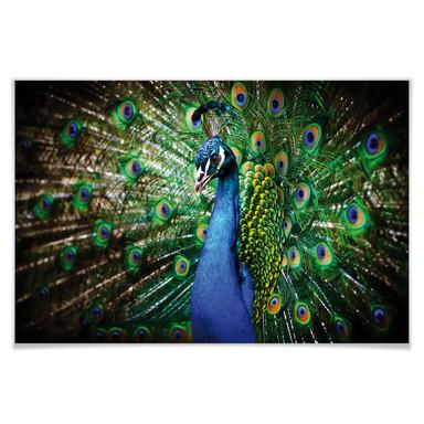 Poster Beautiful Peacock
