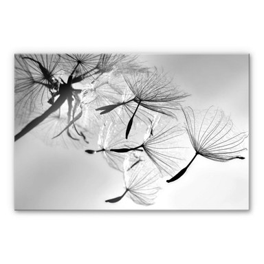 Acrylglasbild Delgado - Pusteblumenfreiheit