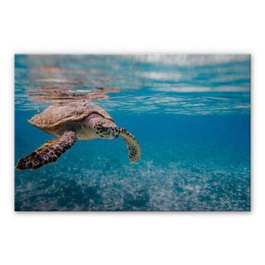 Alu Dibond Bild Schildkröte auf Reisen