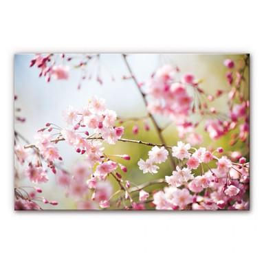 Acrylglasbild Cherry Blossoms