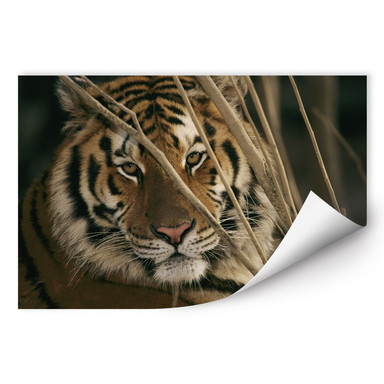 Wallprint NG Tiger