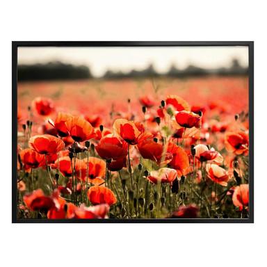 Poster Poppy Field