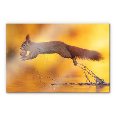 Acrylglasbild van Duijn - Eichhörnchen im Sprung