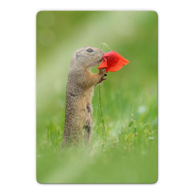Glasbild van Duijn - Erdhörnchen mit Mohnblume