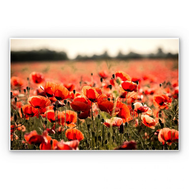 Wandbild Poppy Field