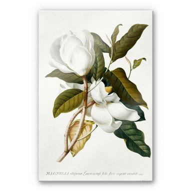 Acrylglasbild Ehret - Magnolie