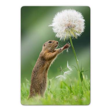 Glasbild van Duijn - Erdhörnchen mit Pusteblume