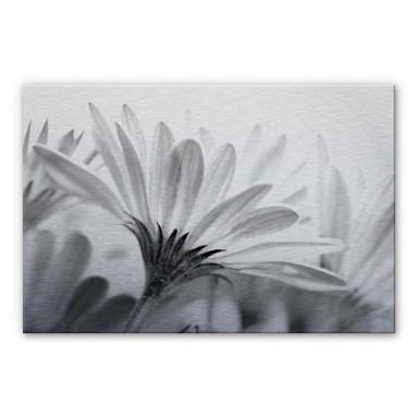 Alu Dibond Bild Gänseblümchen im Detail