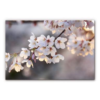 Acrylglasbild Kirschblütenzweig
