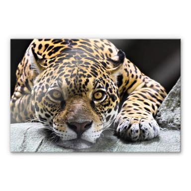 Acrylglasbild Jaguar