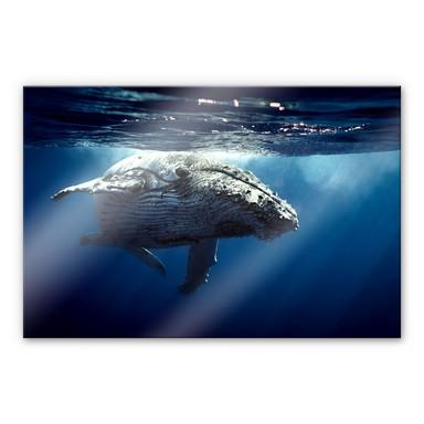 Acrylglasbild Buckelwal auf Tauchgang