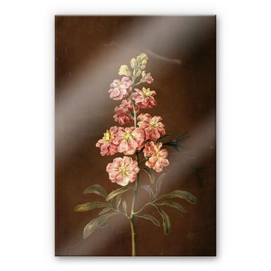 Acrylglasbild Dietzsch - Eine rosa Garten Levkkoje