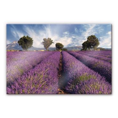 Acrylglasbild Lavendelfeld