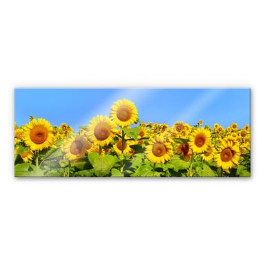 Acrylglasbild Sonnenblumenfeld - Panorama