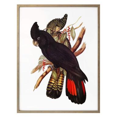 Poster Schwarzer Kakadu
