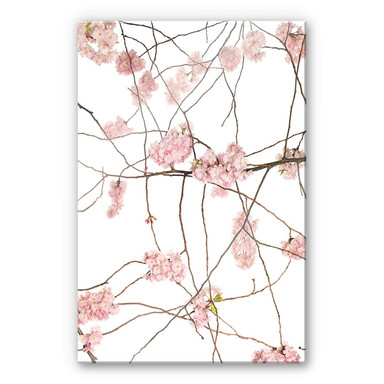 Acrylglasbild Kadam - Japanische Kirschblüte