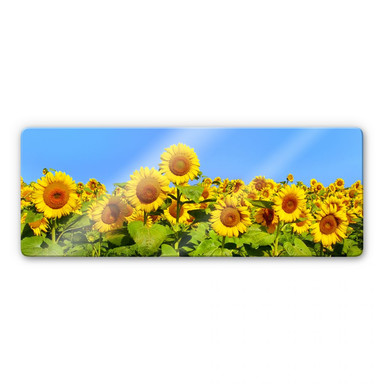 Glasbild Sonnenblumenfeld - Panorama