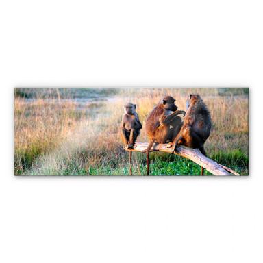 Acrylglasbild Affenbande - Panorama