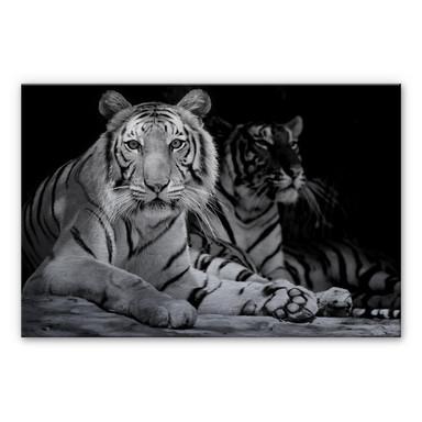 Alu-Dibond Bild Zwei Königstiger schwarz-weiss