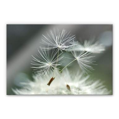 Acrylglasbild Delgado - Pusteblumenvielfalt