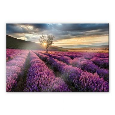 Acrylglasbild Lavendelblüte in der Provence